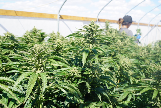 Medical Marijuana Industry Greenhouse Automation