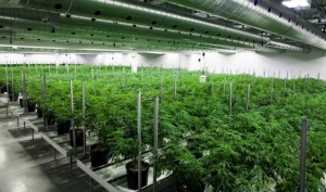 commercial medical marijuana greenhouse